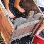 Pigiatura dell'uva: degustare l'Aceto balsamico di Modena